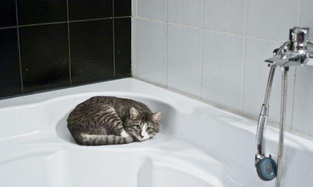Cómo bañar a un gato