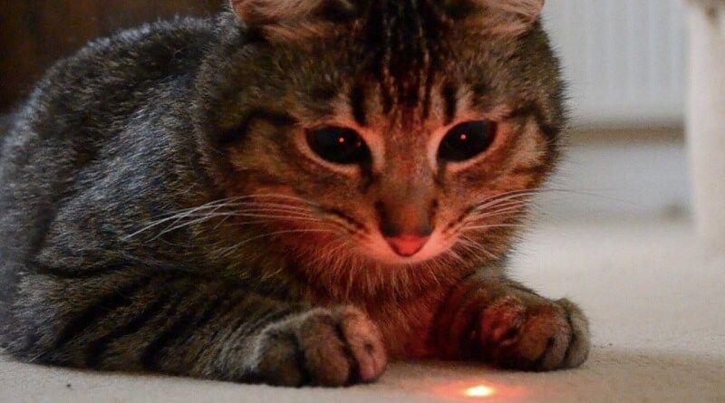 Es peligroso para los gatos jugar con el puntero láser