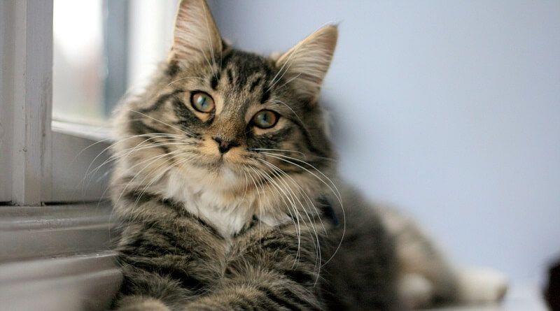 Pasos a seguir para limpiar las orejas a tu gato