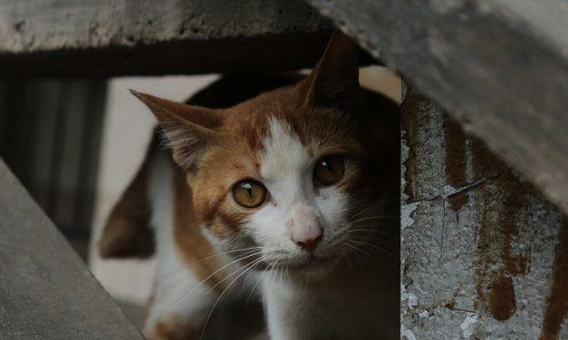 Adoptar un gato callejero: todo lo que necesitas saber