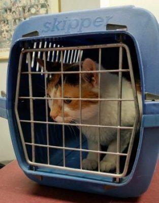 Cómo llevar a un gato callejero al veterinario