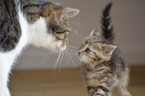 Cuándo dejan de crecer los gatos