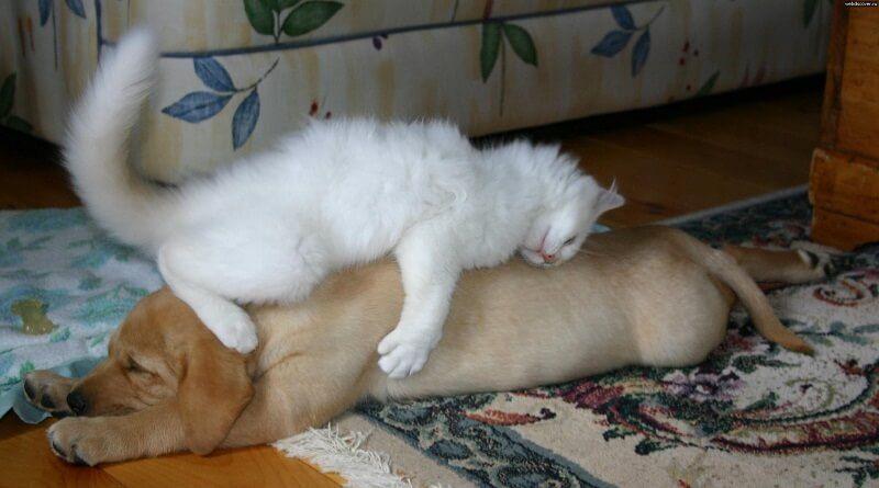 10 Gatos que han decidido que dormir sobre el perro es buena idea