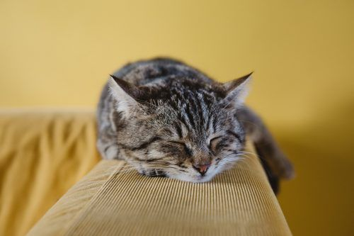 Cuánto duerme un gato adulto