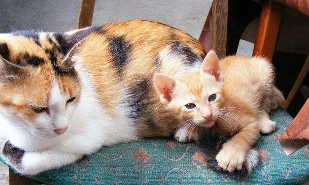 ¿Cuántos gatitos puede tener una gata primeriza?