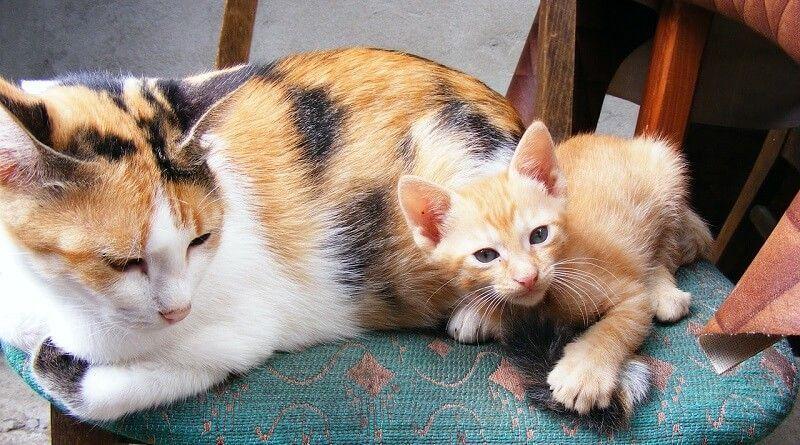 Cuántos gatitos puede tener una gata primeriza