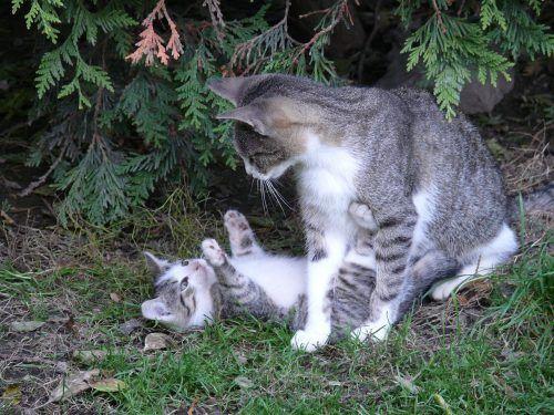 Cuántos gatos puede tener una gata en el primer parto