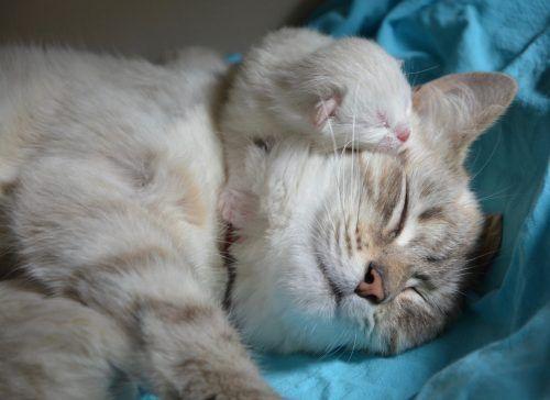 Cuántos gatos puede tener una gata la primera vez