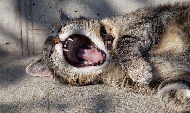 ¿Los gatos cambian los dientes?