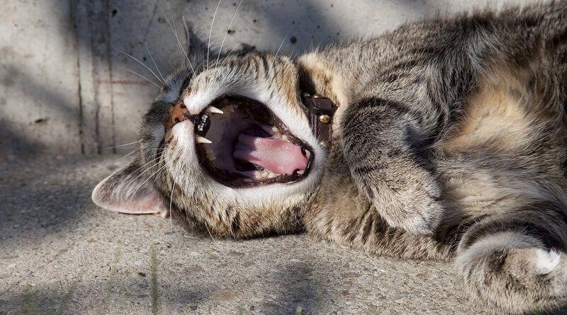 Los gatos cambian los dientes