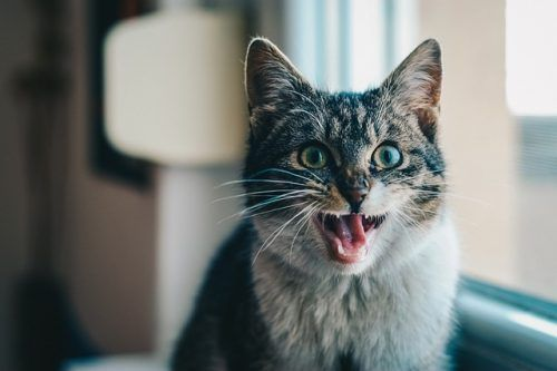 Limpieza bucal de gatos