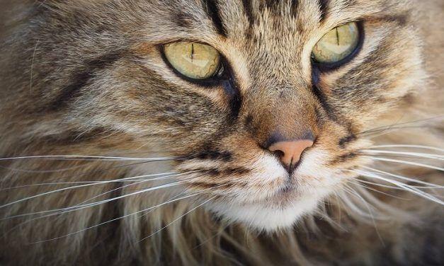 Los bigotes de los gatos: ¿Para qué sirven?