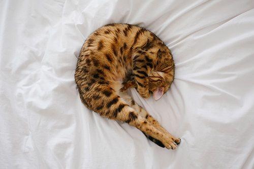 Por qué los gatos duermen con su dueño