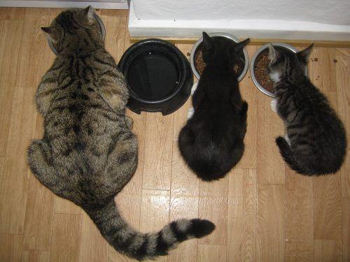 Racionar la comida de los gatos