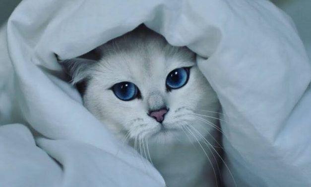 Coby The Cat, el precioso gato con ojos azules