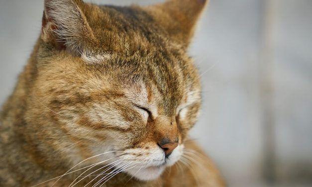 ¿Por qué lloran los gatos?