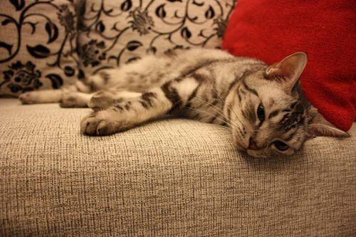 Por que los gatos arañan el sofá