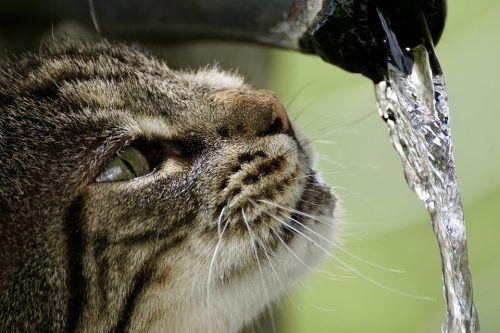 Causas por las que un gato bebe mucha agua