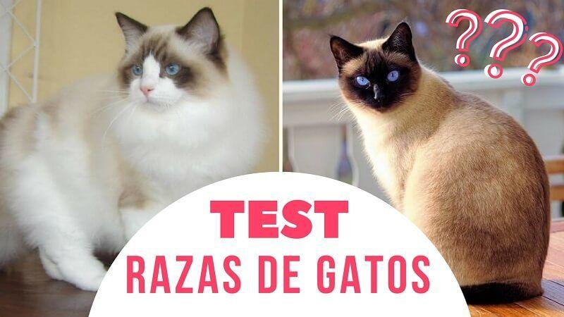 TEST razas de gatos