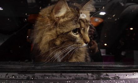 Viajar en coche con tu gato: aspectos a tener en cuenta