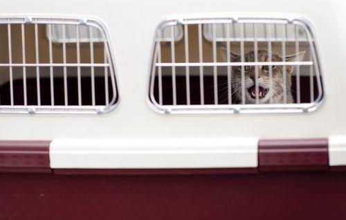Cómo meter gato agresivo en transportin