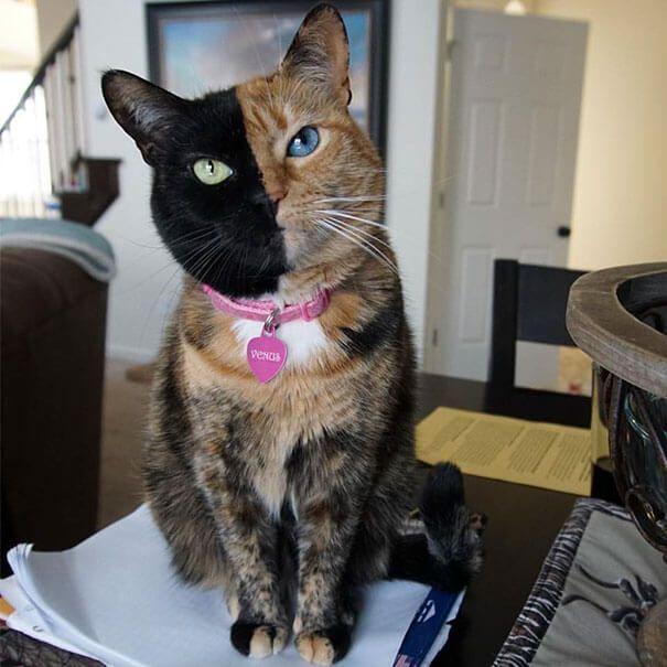 Gato con cara de dos colores