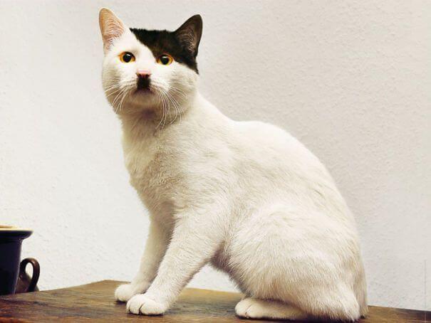 Gato que se parece a Hitler