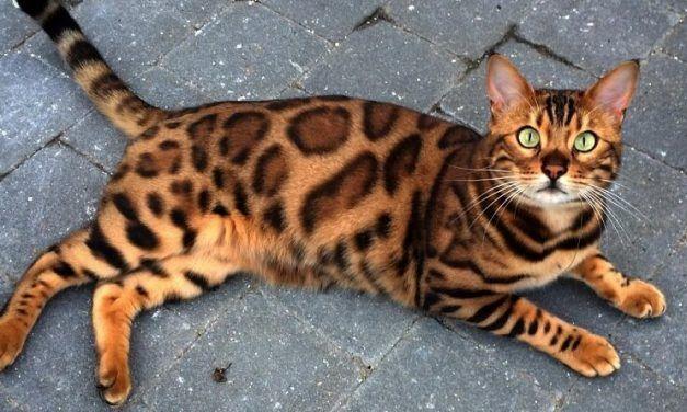 Thor, el famoso gato bengala de Instagram