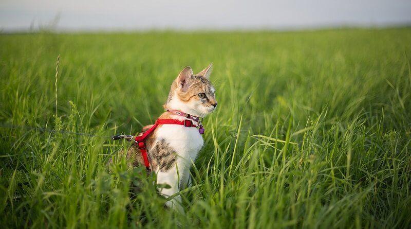 ¿Cuándo y cómo pasear a un gato?