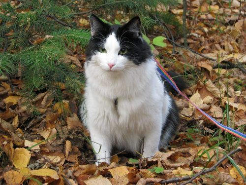 Pasear gato con arnés