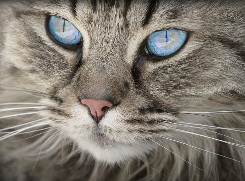 Visión en gatos
