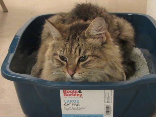 El uso del arenero en gatos