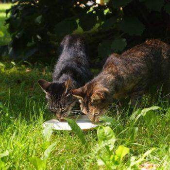 ¿Es bueno que los gatos beban leche?