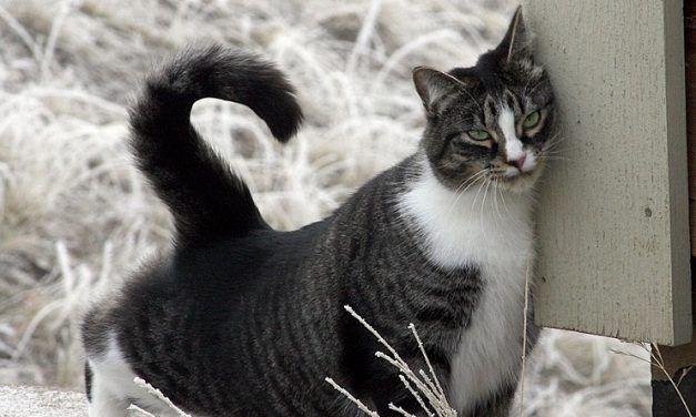 Por qué los gatos se frotan con las personas y las cosas