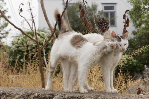 Por qué los gatos se restriegan