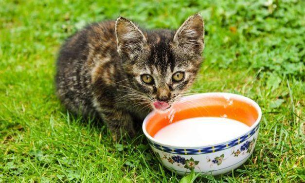 Descubre por qué no todos los gatos pueden beber leche