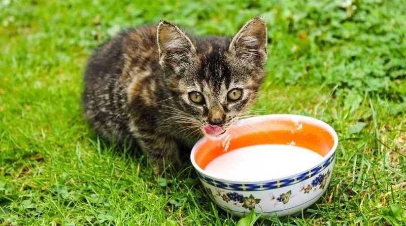 Por qué no todos los gatos pueden beber leche