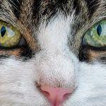 Así ven los gatos: son miopes y no ven el color rojo