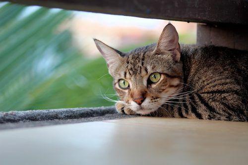 La visión de los gatos