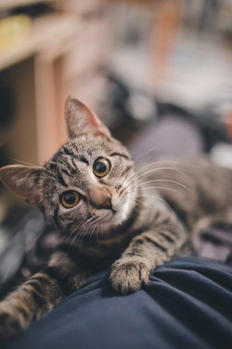 ganarte la confianza de tu gato