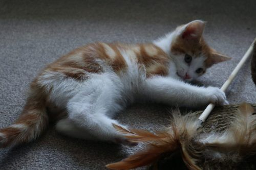 Cómo jugar con tu gato correctamente