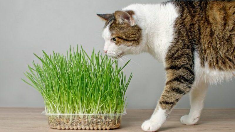 Diferencia entre catnip y hierba gatera