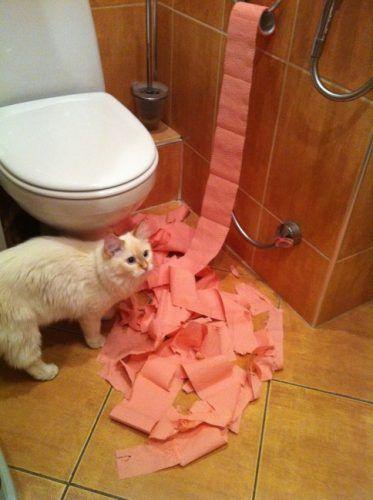 Gato con papel higiénico