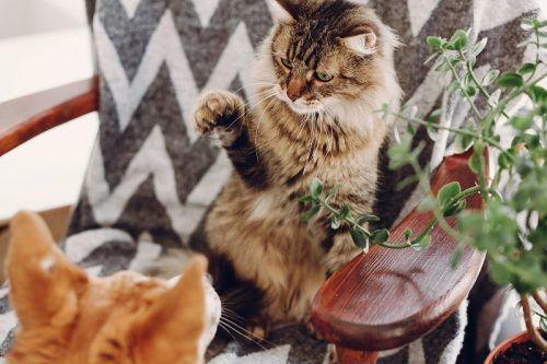 Gato molestando a otro animal