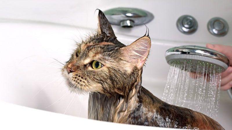 Cada cuanto se debe bañar a un gato