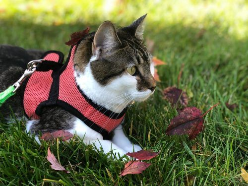 Chaleco para pasear a un gato