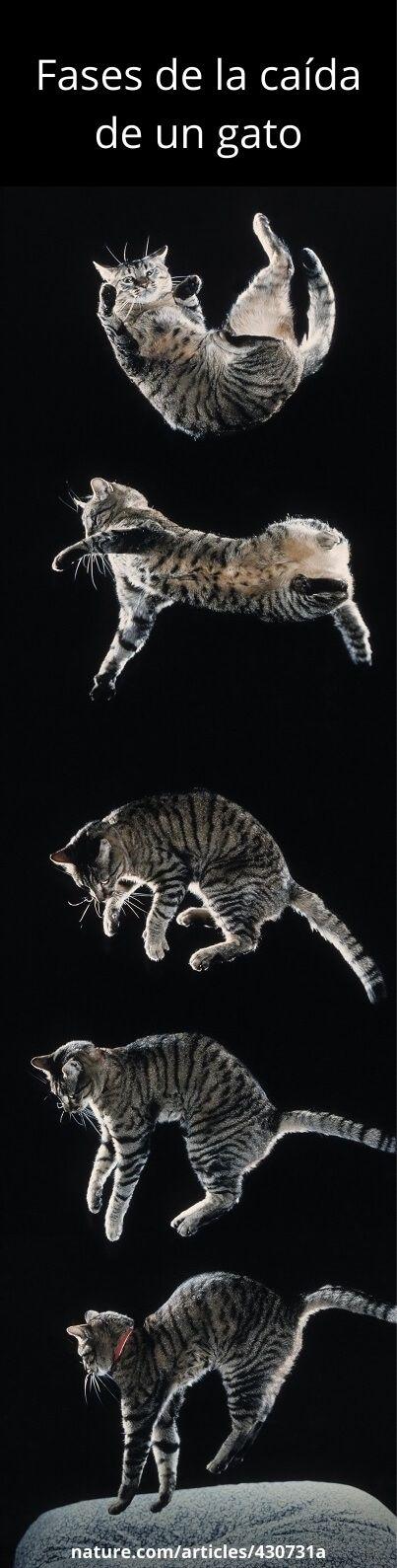 Fases de la caída de un gato