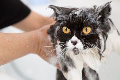 El uso de jabón en gatos