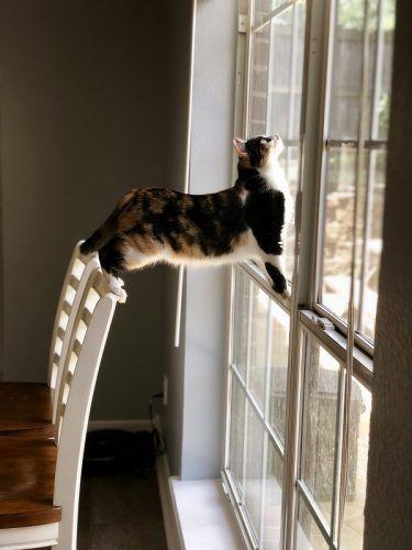 Habilidad de los gatos para caer de pie