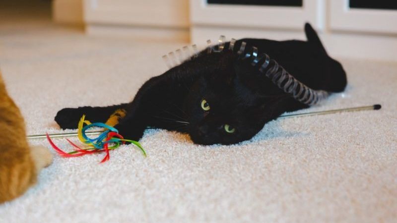 Por qué tu gato no juega